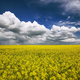 flowering field of colza outdoors in spring - PhotoDune Item for Sale