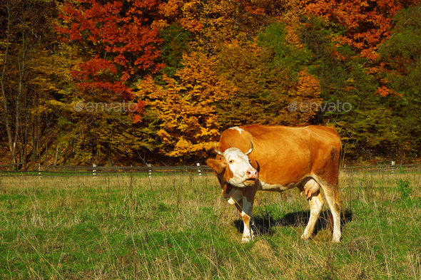 Single cow moos near colorfull Autumnal forest - Stock Photo - Images