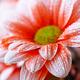 beautiful orange daisy in the morning dew - PhotoDune Item for Sale