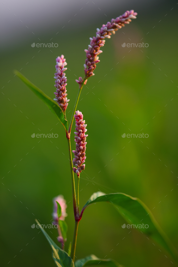 Blossoms of a redshank (Persicaria maculosa) - Stock Photo - Images