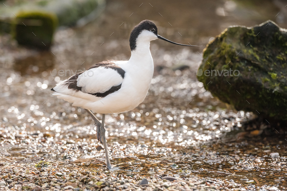Pied Avocet - Stock Photo - Images