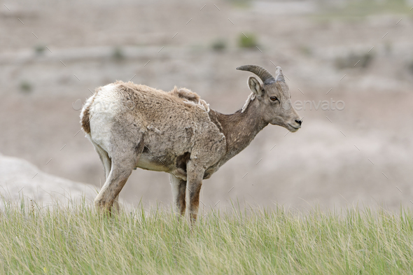 Big Horn Sheep on the Prairie - Stock Photo - Images