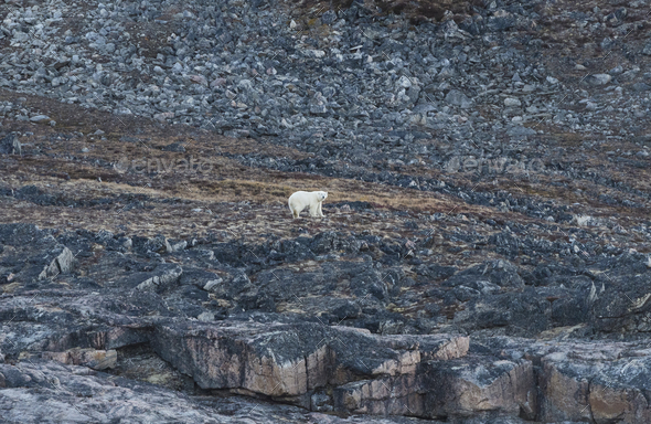 Polar Bear in the High Arctic - Stock Photo - Images