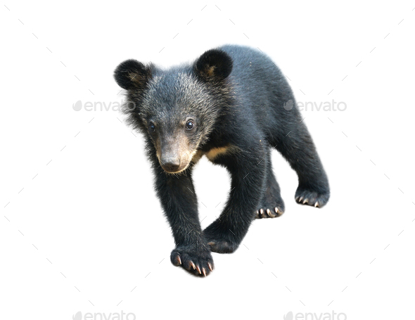 young asiatic black bear isolated - Stock Photo - Images