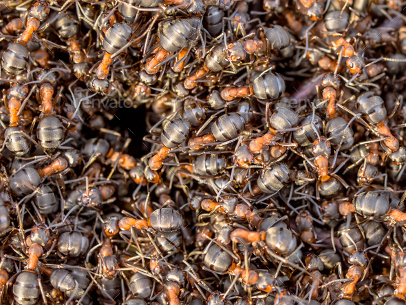 Red Ants Creeping around the Entrance of their Nest - Stock Photo - Images