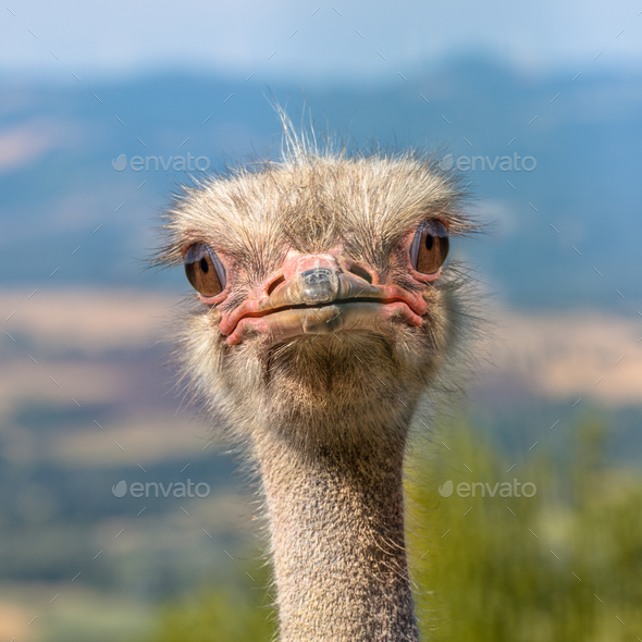 Head of an African Ostrich Looking straight in the Camera - Stock Photo - Images