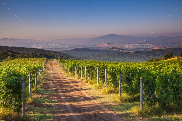 Chianti Vineyard Tuscany, Italy - Stock Photo - Images