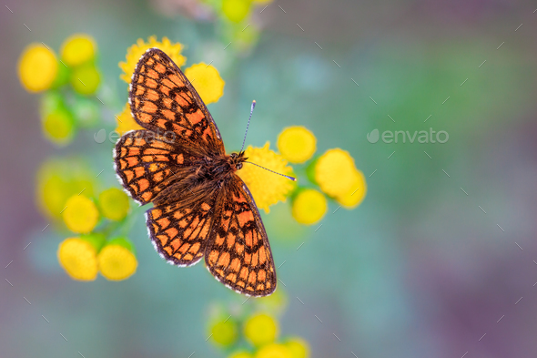 Heath Fritillary Butterfly on Yellow Flowers with Green and Purp - Stock Photo - Images