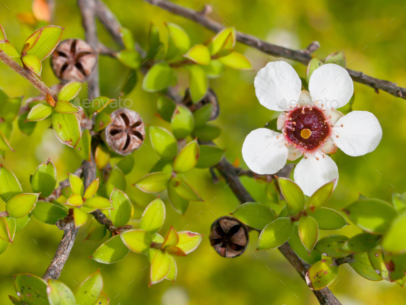 Detail of manuka flower - Stock Photo - Images
