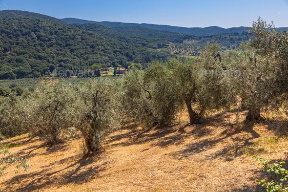 Olive Plantation Tuscany - Stock Photo - Images