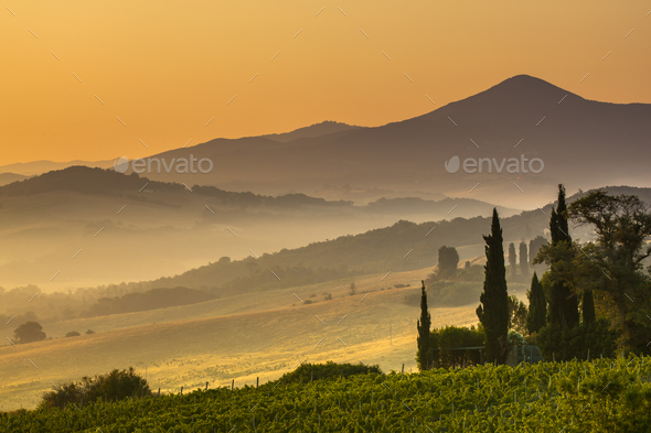 Cypress in Tuscan Countryside, Italy - Stock Photo - Images