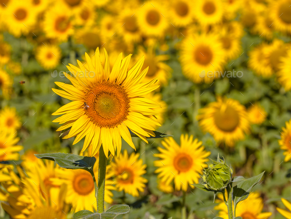 Detail of Field of Sunflower - Stock Photo - Images