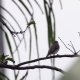 Asian Brown Flycatcher (Muscicapa Dauurica) Sitting on Tree Branch - VideoHive Item for Sale
