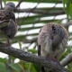 Two Eastern Spotted Dove (Spilopelia Chinensis) Grooming - VideoHive Item for Sale