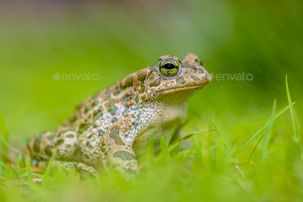 Firm Green toad in bright green Grass - Stock Photo - Images