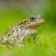 Firm Green toad in bright green Grass - PhotoDune Item for Sale