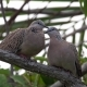 Two Eastern Spotted Dove (Spilopelia Chinensis) Grooming Each Other - VideoHive Item for Sale