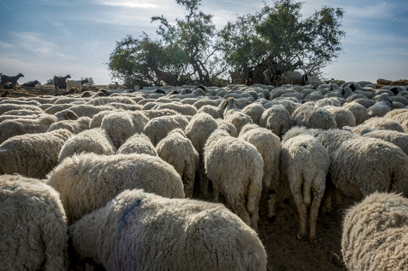 A flock of sheep in India - Stock Photo - Images