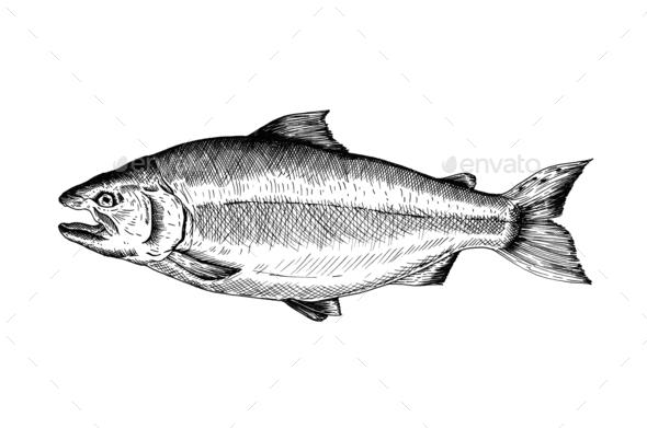 Hand drawn salmon fish - Stock Photo - Images