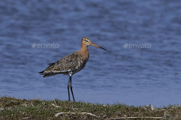Black-tailed godwit (Limosa limosa) - Stock Photo - Images