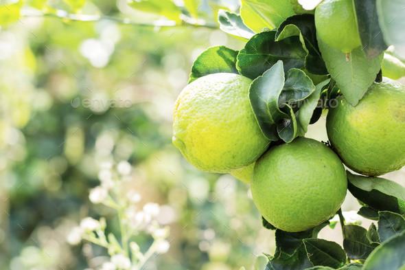 Lemon on tree - Stock Photo - Images