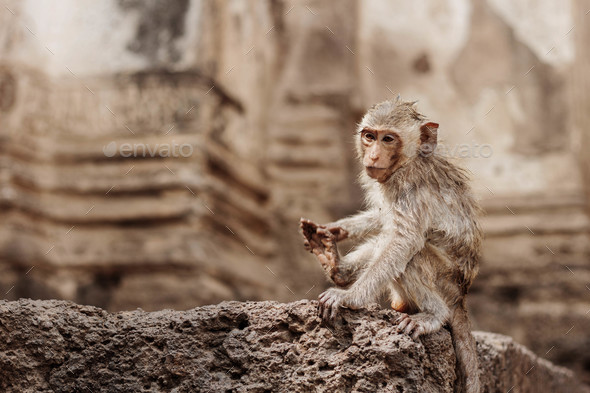 monkey with building background - Stock Photo - Images