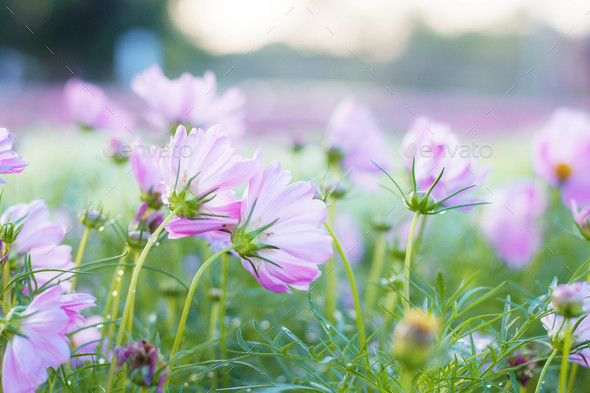 Pink cosmos at sunlight - Stock Photo - Images