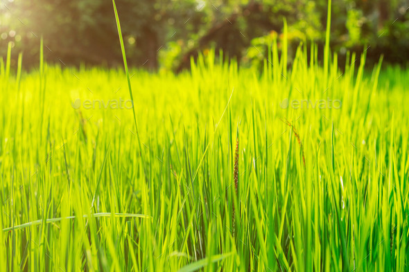 rice leaves on field - Stock Photo - Images