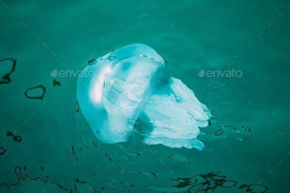Batumi, Adjara, Georgia. Rhizostoma Pulmo In Sea Water. Fauna Of - Stock Photo - Images