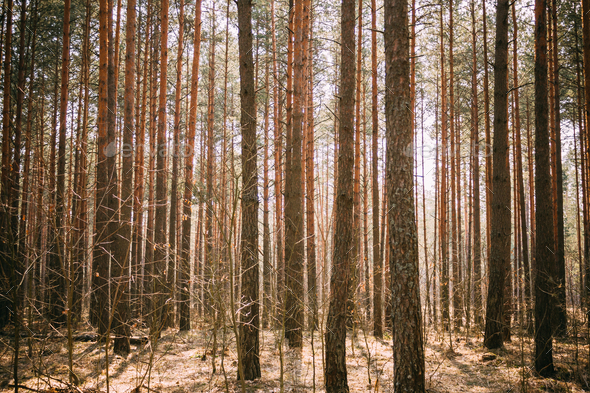 Spring Pine Forest Background - Stock Photo - Images