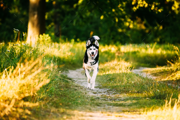 Young Happy Husky Eskimo Dog Runnig In Forest Lane Outdoor. - Stock Photo - Images