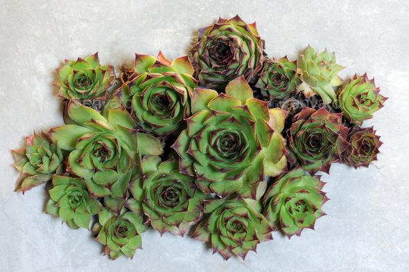 succulent plants decoration - Stock Photo - Images