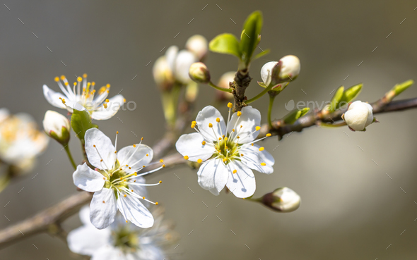 Blossom of common hawthorn closeup - Stock Photo - Images