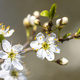 Blossom of common hawthorn closeup - PhotoDune Item for Sale
