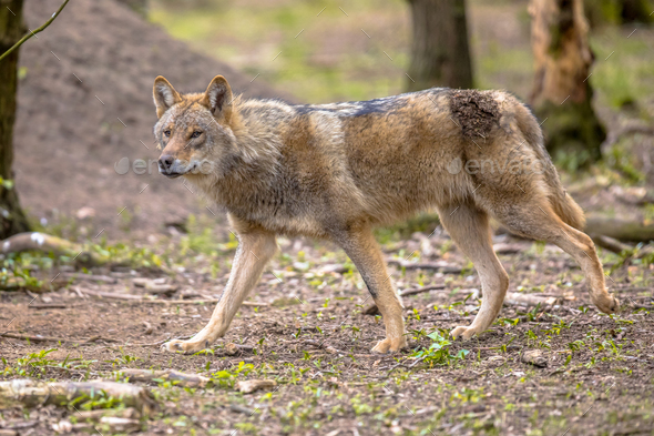 Wolf walking in european  forest habitat - Stock Photo - Images