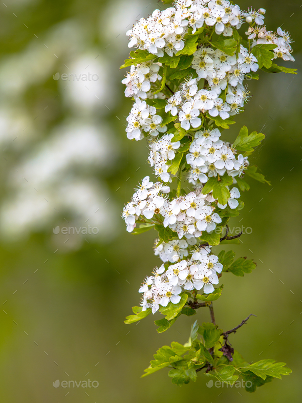 Blossom of common hawthorn - Stock Photo - Images