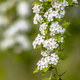 Blossom of common hawthorn - PhotoDune Item for Sale
