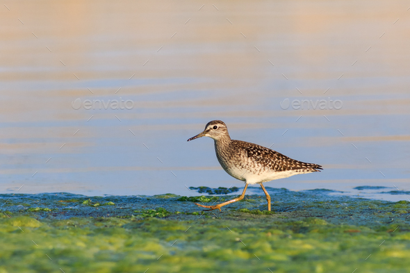 black tailed godwit - Stock Photo - Images