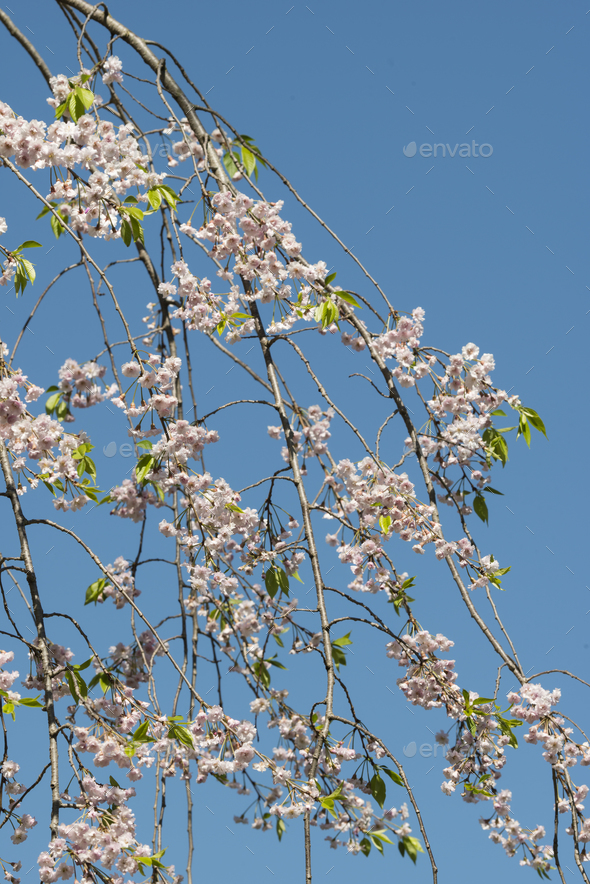 Japanese cherry tree detail of flowers - Stock Photo - Images