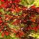 Maple tree with Spring red leaves. - PhotoDune Item for Sale