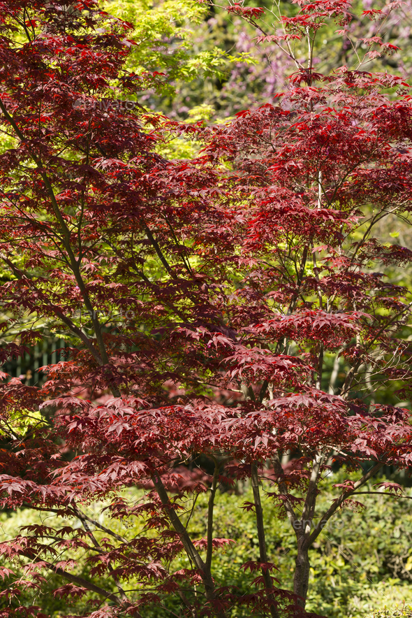 Maple tree with Spring red leaves. - Stock Photo - Images