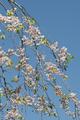 Japanese cherry tree detail of flowers - PhotoDune Item for Sale