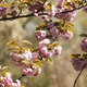 Japanese cherry tree detail of flowers - PhotoDune Item for Sale