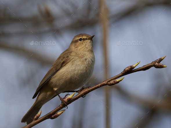 Common chiffchaff (Phylloscopus collybita) - Stock Photo - Images
