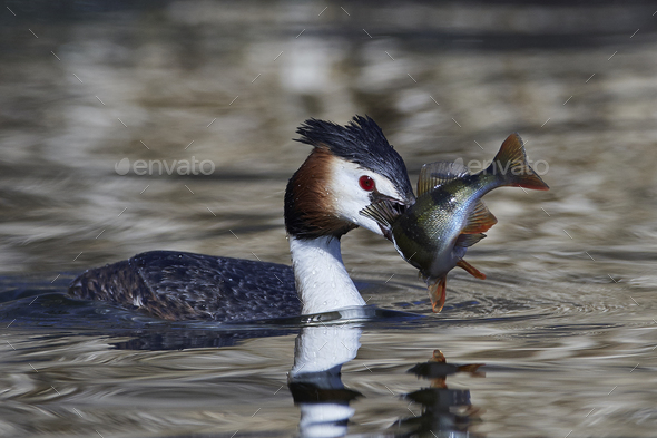 Great crested grebe (Podiceps cristatus) - Stock Photo - Images