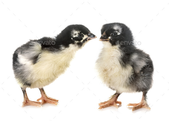 chicks marans in studio - Stock Photo - Images