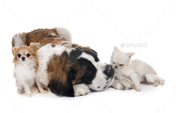 young saint bernard and chihuahuas - Stock Photo - Images