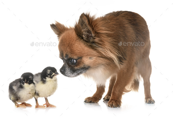 chihuahua and chicks - Stock Photo - Images