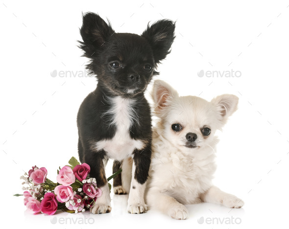 puppies chihuahua in studio - Stock Photo - Images