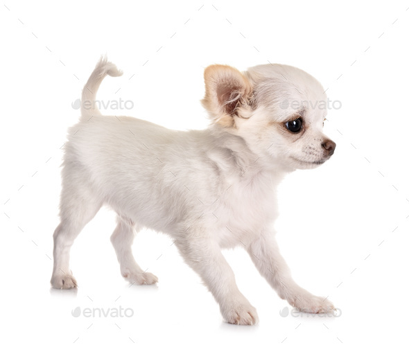 puppy chihuahua in studio - Stock Photo - Images